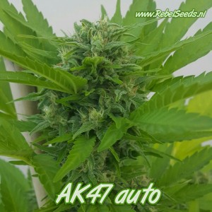 AK47 autoflower, regulier.