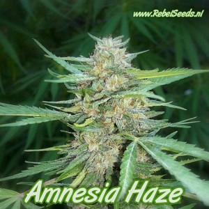 Amnesia Haze, feminised.