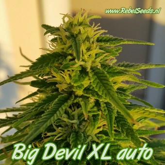 Big Devil XL autoflower, regulier, 10 zaden.