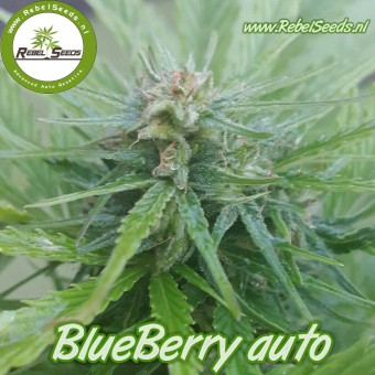 Blueberry autoflower , regulier.