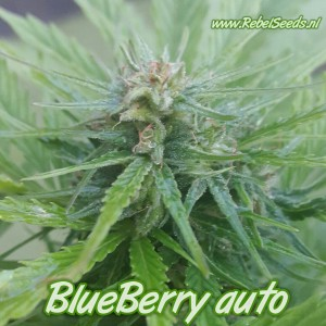 Blueberry autoflower , regulier, 10 zaden.