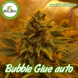 Bubble Glue autoflower, feminised.
