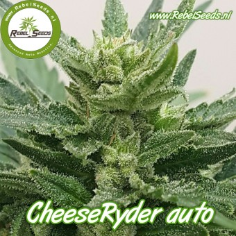 CheeseRyder autoflower, regulier.