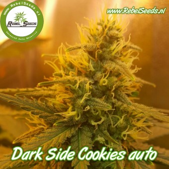 Dark Side Cookies autoflower, regulier.