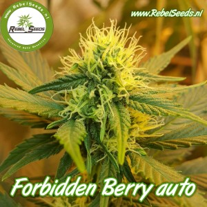 Forbidden Berry autoflower, regulier.