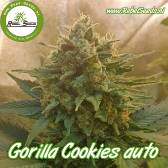 Gorilla Cookies autoflower, feminised.