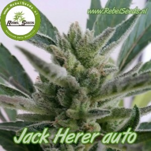 Jack Herer autoflower, regulier.
