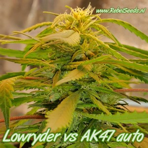 Lowryder #2 vs AK47, regulier.