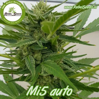 Mi5 autoflower, regulier.