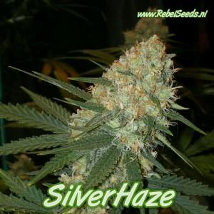 Silverhaze, Feminised, 10 zaden.