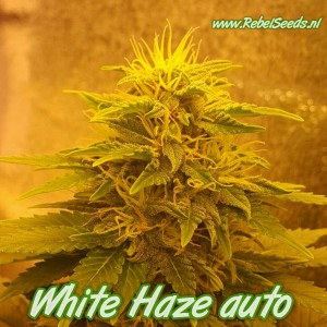 White Haze autoflower, regulier, 10 zaden.